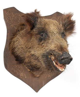 Lot 69 - Taxidermy: European Wild Boar (Sus scrofa), circa late 20th century, adult head mount looking...