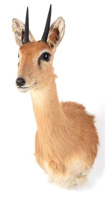 Lot 71 - Taxidermy: Southern Oribi (Ourebia ourebi), modern, a high quality adult male shoulder mount...