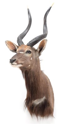 Lot 72 - Taxidermy: Lowland Nyala (Nyala angasii), modern, a high quality adult shoulder mount with head...