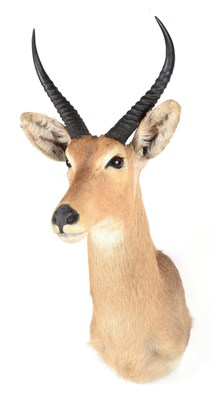 Lot 73 - Taxidermy: Southern Common Reedbuck (Redunca arundinum), modern, a high quality adult male shoulder