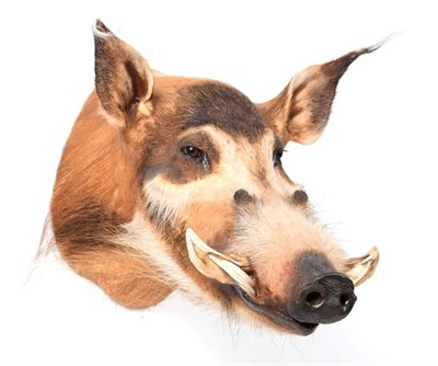 Lot 77 - Taxidermy: Red River Hog (Potamochoerus porcus), modern, a high quality adult head mount...