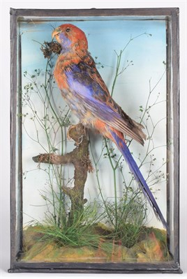 Lot 82 - Taxidermy: A Late Victorian Cased Crimson Rosella Parrot (Platycercus elegans), East & Southeastern