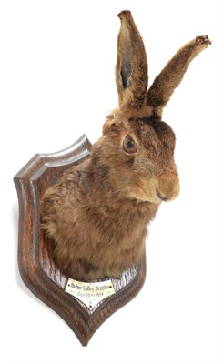 Lot 83 - Taxidermy: European Hare (Lupus lupus), October 20th 1934, by Henry Murray & Son, Naturalist's...