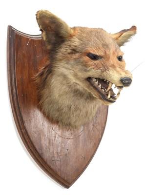 Lot 84 - Taxidermy: European Red Fox (Vulpes vulpes), circa 1920-1930, by Henry Murray, Naturalist's &...