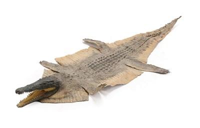 Lot 89 - Taxidermy: Nile Crocodile (Crocodylus nyloticus), circa 2005, Zimbabwe, Africa, adult flat skin...
