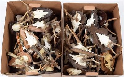 Lot 90 - Antlers/Horns: European Roebuck (Capreolus capreolus), circa late 20th century, thirty sets of...