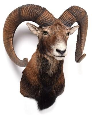 Lot 91 - Taxidermy: European Mouflon (Ovis aries musimon), modern, adult male shoulder mount looking...