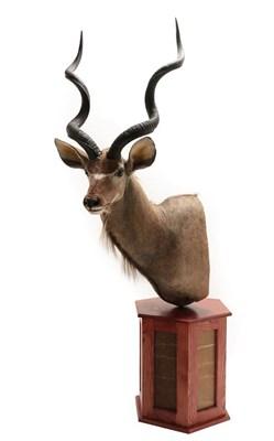 Lot 92 - Taxidermy: Cape Greater Kudu (Strepsiceros strepsiceros), modern, South Africa, a high quality...