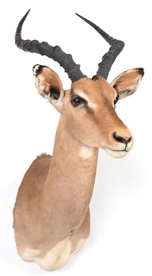 Lot 93 - Taxidermy: Common Impala (Aepyceros melampus), modern, South Africa, adult male shoulder mount...