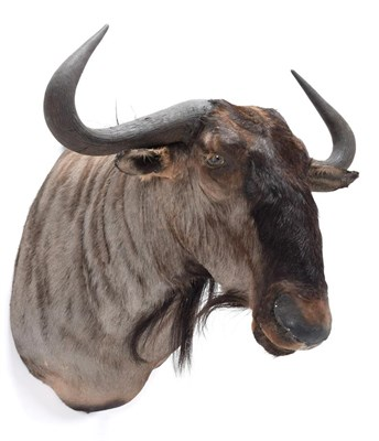 Lot 95 - Taxidermy: Blue Wildebeest (Connochaetes taurinus), modern, South Africa, a high quality adult bull