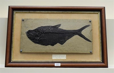 Lot 1051 - A framed composite model of a fossilised fish, Diplomystus Dentatu, Eocene, 24cm by 50cm