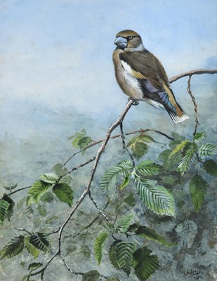 Lot 1017 - George Edward Lodge (1860-1954) ''Hawfinch'' Signed and dated 1950, gouache, 28.5cm by 22cm...