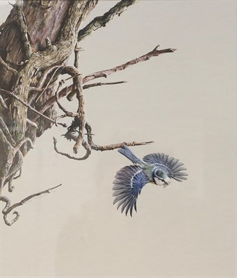 Lot 1019 - Alan M Hunt (b.1947)  Bluetit in flight Signed and dated 1983, gouache, 33.5cm by 29cm...