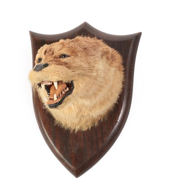 Lot 14 - Taxidermy: A Eurasian Otter Mask (Lutra lutra), circa 1926, by Peter Spicer & Sons,...