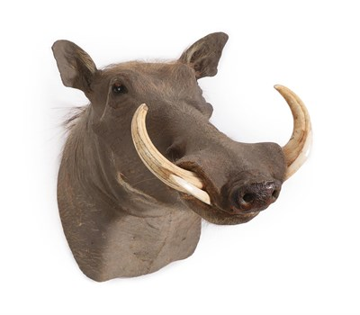 Lot 15 - Taxidermy: Common Warthog (Phacochoerus africanus), modern, South Africa, high quality adult...