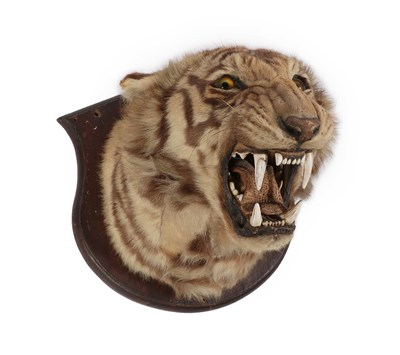 Lot 20 - Taxidermy: Bengal Tiger (Panthera tigris tigris), circa early 20th century, by Theobald Bros,...