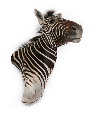 Lot 27 - Taxidermy: Burchell's Zebra (Equus quagga burchellii), circa 2000, high quality adult shoulder...