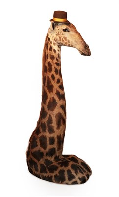 Lot 39 - Taxidermy: Southern Giraffe (Giraffa giraffa), modern, South Africa, a high quality free...