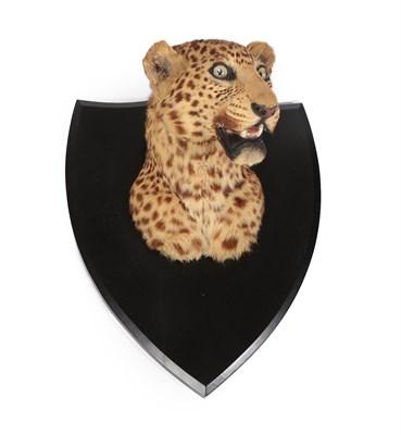 Lot 47 - Taxidermy: Indian Leopard (Panthera pardus), circa 1920-1930, by Van Ingen Van Ingen, Mysore,...