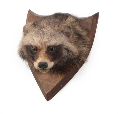 Lot 50 - Taxidermy: North American Raccoon (Procyon lotor), circa mid-late 20th century, adult head...