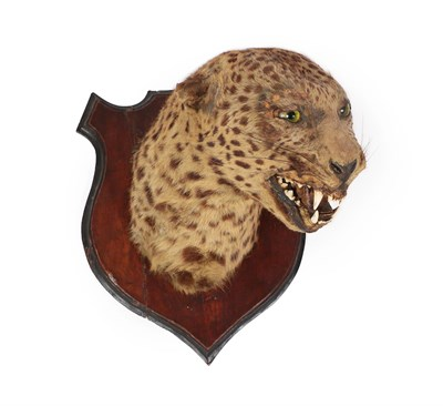 Lot 55 - Taxidermy: Indian Leopard (Panthera pardus), circa 1920, by Edwards & Co, Scientific Taxidermist's