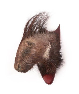 Lot 57 - Taxidermy: Indian Crested Porcupine (Hystrix indica), circa mid-late 20th century, adult head mount