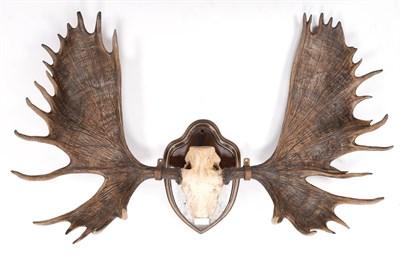 Lot 23 - Antlers/Horns: Alaskan Yukon Moose (Alces alces gigas), dated 1869, Yukon River, Alaska, ex Duke of