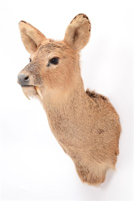 Lot 78 - Taxidermy: Chinese Water Deer (Hydropotes inermis inermis), modern, a high quality male...