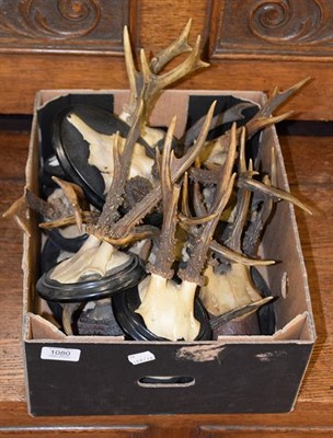 Lot 1080 - Antlers/Horns: European Roebuck (Capreolus capreolus), dated from 1903-1935, fourteen sets of adult