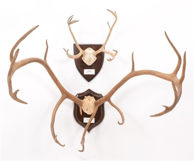 Lot 1 - Antlers/Horns: European Reindeer Antlers (Rangifer tarandus tarandus), circa 20th century,...