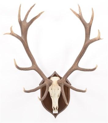 Lot 5 - Antlers/Horns: Carpathian Red Deer (Cervus elaphus montanus), dated Sept 26th 1962, Babeasa...