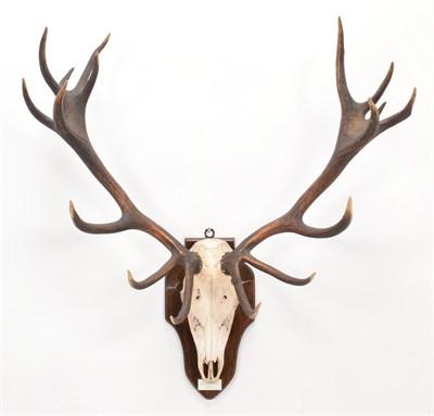 Lot 7 - Antlers/Horns: Central European Red Deer (Cervus elaphus hippelaphus), Thetford, Norfolk, adult...
