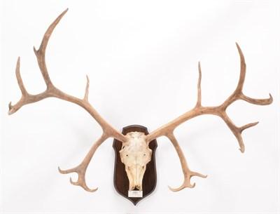 Lot 8 - Antlers/Horns: South Georgia Reindeer (Rangifer tarandus tarandus), circa early 20th century, South