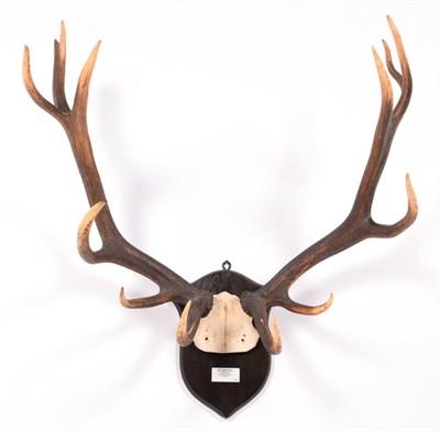 Lot 10 - Antlers/Horns: Roosevelt Wapiti (Cervus canadensis roosevelti), dated 1902, Quatsino, North...