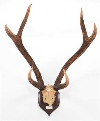 Lot 11 - Antlers/Horns: Indian Sambar (Cervus unicolor unicolor), circa early 20th century, Dunbar,...