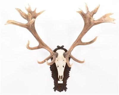 Lot 12 - Antlers/Horns: European Red Deer (Cervus elaphus hippelaphus), 20th century, impressive adult...