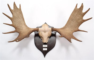 Lot 13 - Antlers/Horns: European Moose (Alces alces alces), 20th century, Norway, large adult bull...