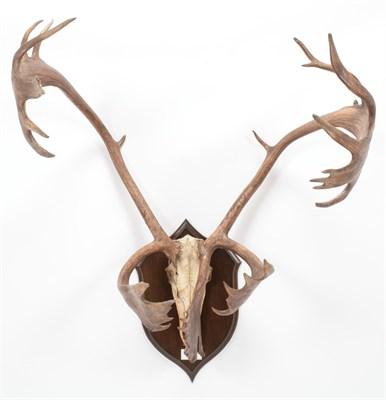 Lot 14 - Antlers/Horns: North American Caribou (Rangifer tarandus caboti), circa 1879, shot by an Eskimo...