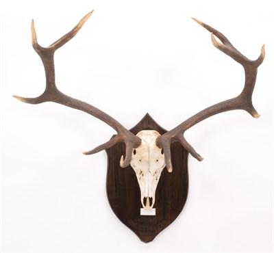 Lot 15 - Antlers/Horns: Hangul or Kashmir Deer (Cervus elaphus hanglu), dated 1926, Kashmir, adult stag...