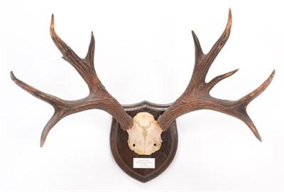Lot 16 - Antlers/Horns: Marsh Deer (Blastocerus dichotomus), circa 1890-1900, adult stag antlers on cut...