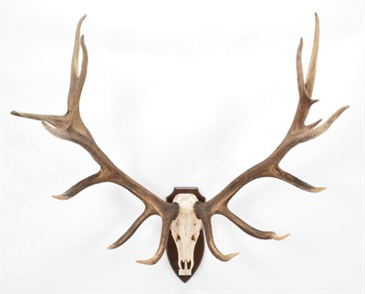 Lot 17 - Taxidermy: North American Wapiti or Elk (Cervus canadensis nelsoni), dated 1985, Howlett and...