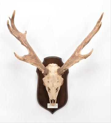 Lot 18 - Antlers/Horns: Persian Fallow Deer (Dama dama mesopotamica), adult buck antlers on upper skull,...
