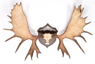 Lot 20 - Antlers/Horns: Alaska Yukon Moose (Alces alces gigas), circa late 20th century, Sustina River,...