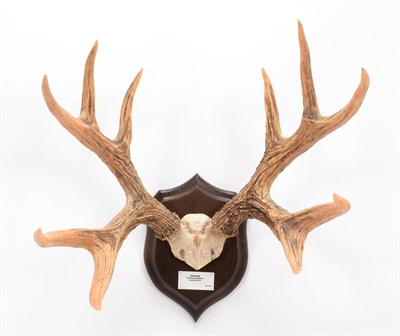 Lot 21 - Antlers/Horns: Marsh Deer (Blastocerus dichotomus), dated 1970, Brazil, adult stag antlers on...