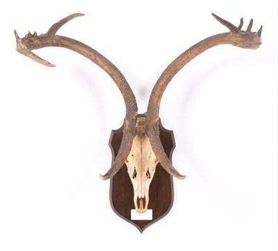 Lot 22 - Antlers/Horns: Eld's Deer (Rucervus eldii), circa 1900, Burma, adult stag antlers on cut full upper