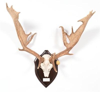 Lot 24 - Antlers/Horns: European Fallow Deer (Cervus dama dama), Gold Medal Class of Danmarks Jaeger...