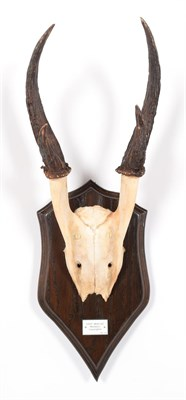 Lot 25 - Antlers/Horns: Giant Muntjac (Muntiacus vuquangensis), Vietnam, adult buck antlers on cut upper...