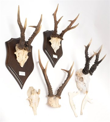 Lot 29 - Antlers/Horns: A Collection of Wiltshire Roebuck Antlers (Capreolus capreolus), a large set of...