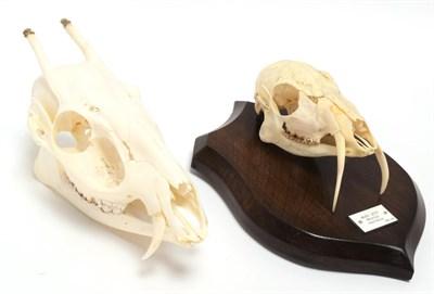 Lot 30 - Skulls/Anatomy: Forest Musk Deer & Tufted Deer (Moshus mochiferus / Elaphodus cephalophus), a...
