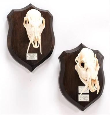 Lot 31 - Skulls/Anatomy: Chinese Water Deer & Chinese Forest Musk Deer (Hydropotes inermis inermis /...